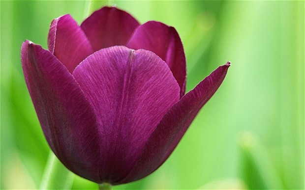 purple-tulip