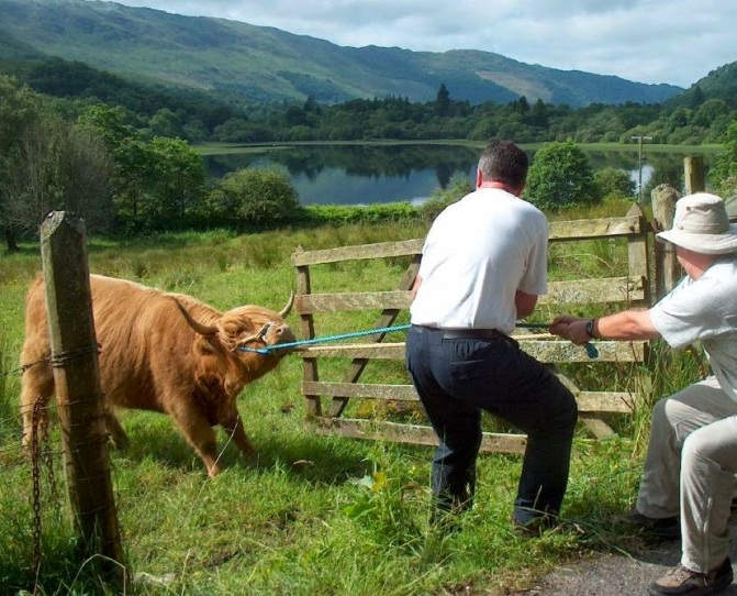 backsliding-heifer